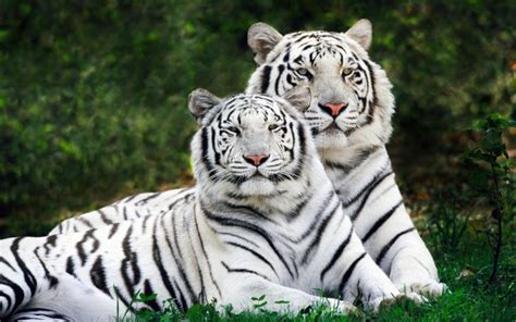 desktop white tigers facts  wallpaper meanings