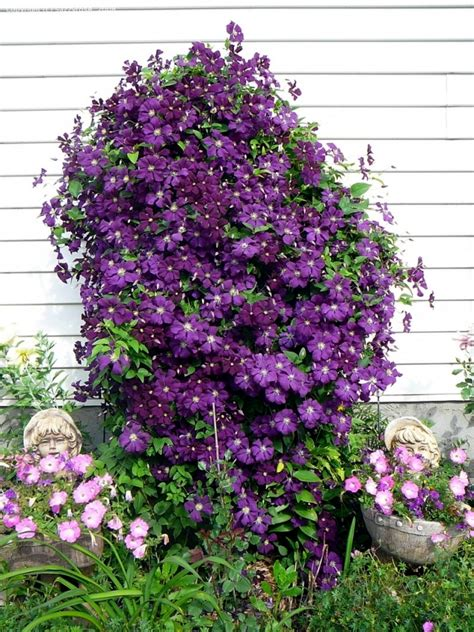 can i plant clematis in a pot tips for planting care and cutting clematis climbing plants front house on