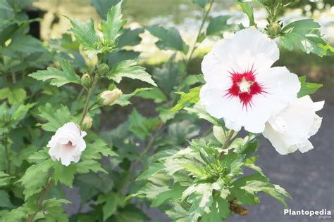 hibiscus care hibiscus plant and flower how to grow and care for hibiscus tree plantopedia