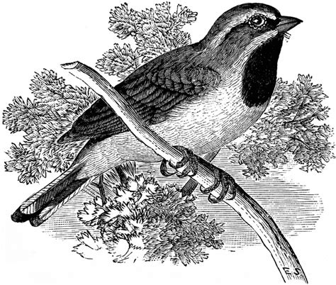 sparrow clipart black and white black throated sparrow clipart etc