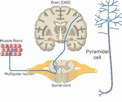 Brain Clipart Nervous System Central Neurons Multipolar