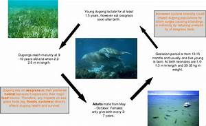 Generalised Life Cycle Diagram Of Dugong In The Torres