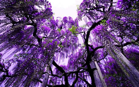 trees with purple flowers in the purple flowers in the trees abstract wallpaper