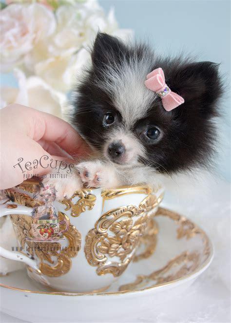adorable  pomeranian puppies  sale teacups