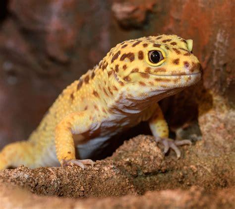 leopard gecko malta national aquarium