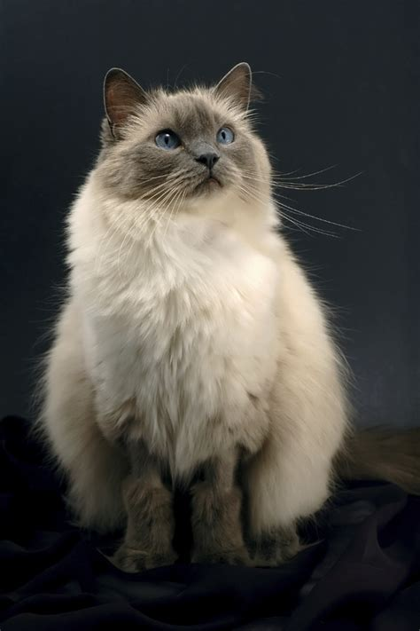 8 Friendly Facts About Ragdoll Cats  Mental Floss