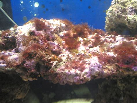 aquarium recifal algues rouges