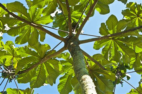 trumpet tree trumpet tree cecropia peltata the natural herbalist
