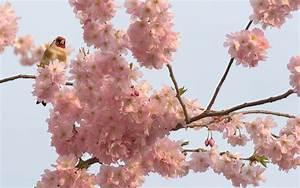 Rosa Blühender Baum Im Frühling : ergebnis f r hintergrundbild fr hling pur ein stieglitz ~ Lizthompson.info Haus und Dekorationen