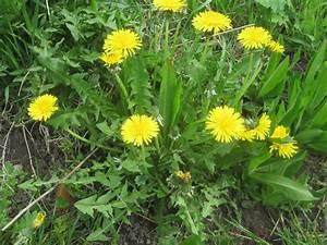 Pflanze Mit Z : l wenzahn heilpflanze k chengem se mein garten ratgeber ~ Lizthompson.info Haus und Dekorationen