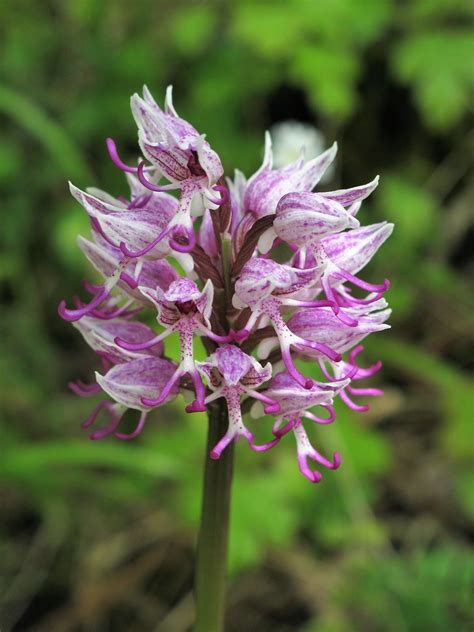 Orchis simia = orchis singe (Orchidacées) (France) | Flickr