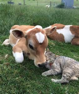 cat and cow 122 91866 cat and cow 1423013954 jpg