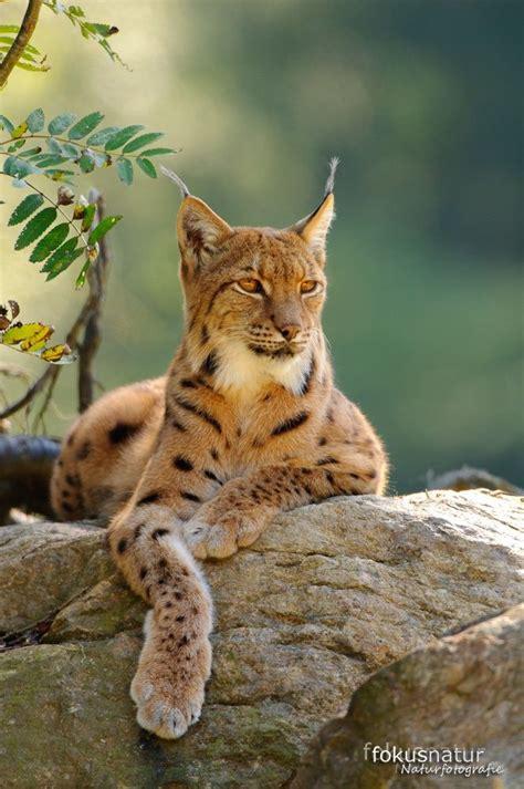 12096 professional photographs of animals 1000 ideen zu luchs auf tiger gro 223 e katzen