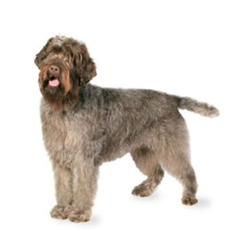 wirehaired pointing griffon shed welcome to prbj
