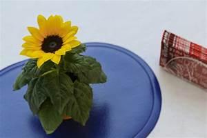 Sonnenblume Im Topf : sonnenblume im topf ziehen so gelingt 39 s ~ Orissabook.com Haus und Dekorationen