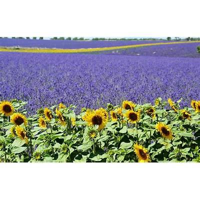 Free photo: Lavender Field Sunflower - Image on