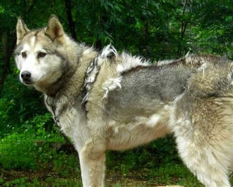 Do Malamutes Shed More Than Huskies by How Coated Owners Deal With Coat