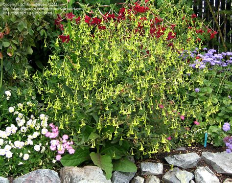 flowering tobacco plantfiles pictures flowering tobacco nicotiana nicotiana langsdorfii by anniesannuals