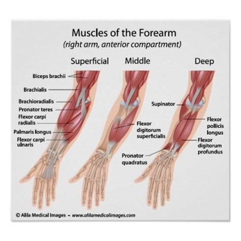 Forearm flexor muscles, labeled drawing. poster | Zazzle