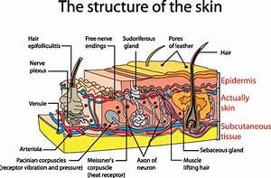 Diagram Of Human Organs  1535  Free Eps Download    4 Vector