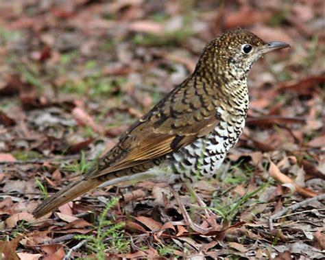 ground thrush bird britannica com