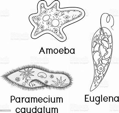Amoeba Paramecium Unicellular Organisms Euglena Proteus Coloring