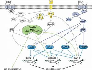 Model For Orexin Receptor Signal Transduction In