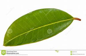 Single Green Leaf Royalty Free Stock Photography - Image ...