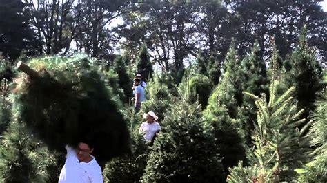 precio de los arboles cortados de navidad bosque de los 193 rboles de navidad 161 ven por tu 193 rbol de navidad