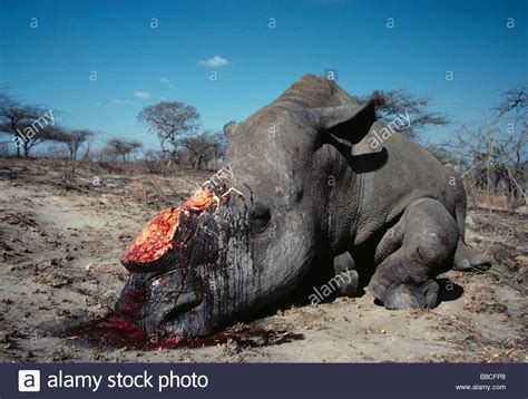 white rhino dead stock photo royalty  image