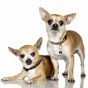 How to Care for and Train Chihuahua Dog | Dog Training