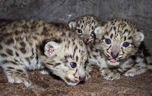 Watch Live: Adorable Baby Snow Leopards | WIRED
