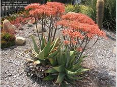 PlantFiles Pictures Aloe Species, Coral Aloe, Cape Aloe