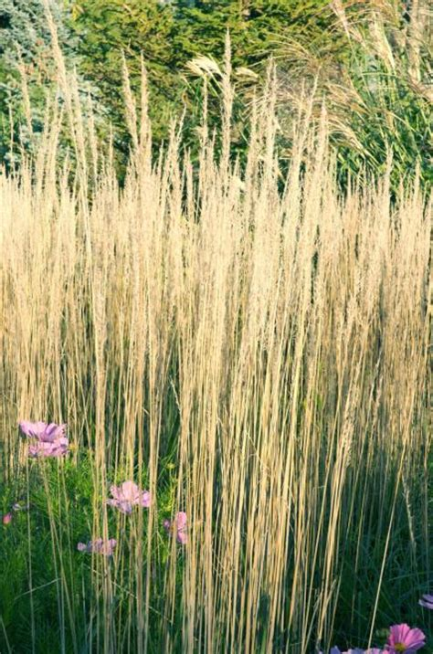 grasses ornamental midwest tall garden grass gardens landscape feather flowers landscaping plants sun most midwestliving narrow upright reed grow straight