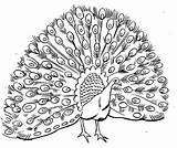 Peacock Coloring Printable Clipart sketch template