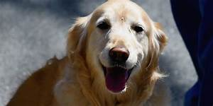 Golden Red River : science explains why golden retrievers are awesome huffpost ~ Orissabook.com Haus und Dekorationen
