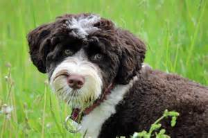 top 10 non shedding dog breeds