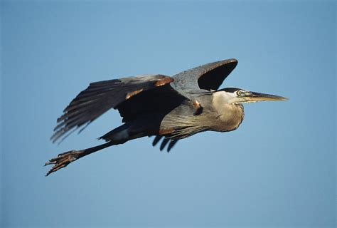 a great blue heron in flight photograph by klaus nigge