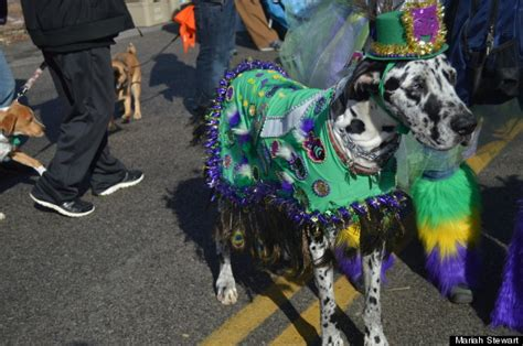 Hundreds Of St. Louis Pets Strut Their Stuff At Mardi Gras