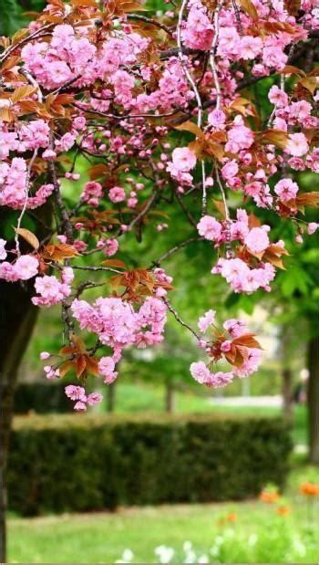 gambar wallpaper bunga sakura