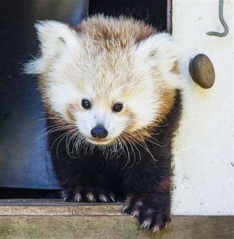 list  baby red panda names    vote