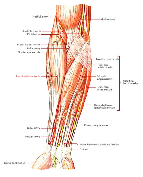 Pain, swelling, and redness of the forearm are the most commonsymptoms of the condition. Easy Notes On 【Brachioradialis】Learn in Just 4 Minutes ...