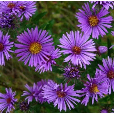 bibit bunga aster prairie