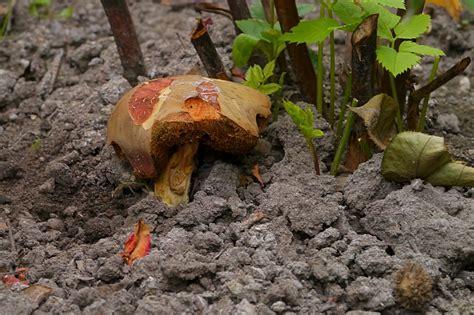 Bei Uns Wachsen Pilze Im Garten by Bei Mir Wachsen Die R 246 Hrlinge Schon Im Garten Foto Bild