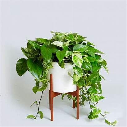 Plant Money Thriving Potted Plants Indoor Kenya