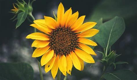 sunflower balboa park closeup  photo  pixabay