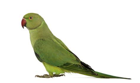 indian ringneck parakeet loveyourparrot com indian ringneck parakeets