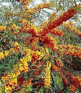 Sanddorn Pflanzen Kaufen : sanddorn orange energy paar 2 pflanzen g nstig online kaufen mein sch ner garten shop ~ Watch28wear.com Haus und Dekorationen