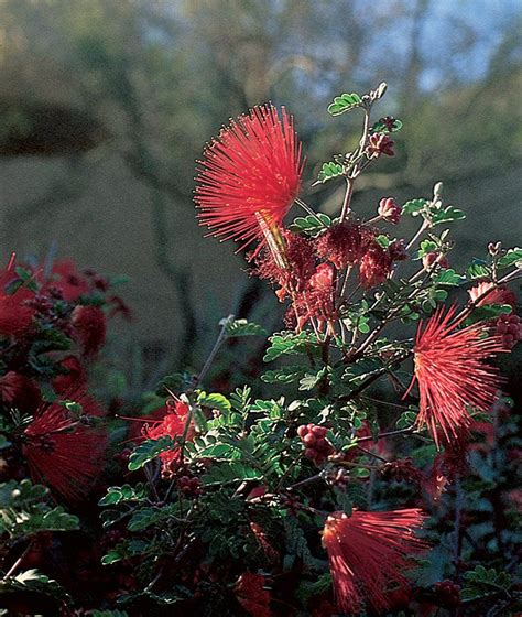 plant month fairy duster water wisely