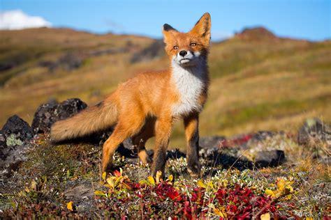 fox animals wildlife wallpapers hd desktop  mobile